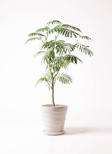 観葉植物 エバーフレッシュ 8号 ボサ造り サバトリア 白 付き