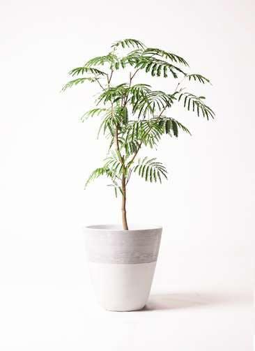 観葉植物 エバーフレッシュ 8号 ボサ造り ジュピター 白 付き