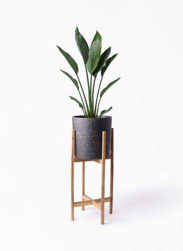 観葉植物 ストレリチア レギネ 6号 ホルスト シリンダー スパークルブラック ウッドポットスタンド 付き