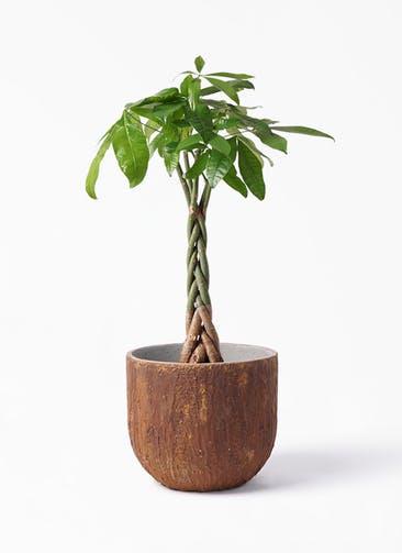 観葉植物 パキラ 6号 ねじり バル ユーポット ラスティ  付き