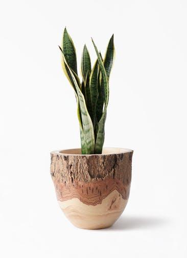 観葉植物 サンスベリア 6号 トラノオ Mango Wood(マンゴーウッド) フラワーベース 付き