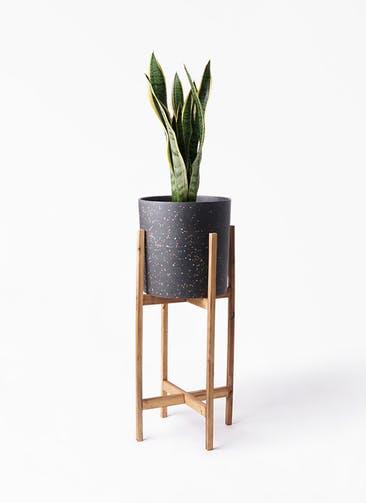 観葉植物 サンスベリア 6号 トラノオ ホルスト シリンダー スパークルブラック ウッドポットスタンド 付き
