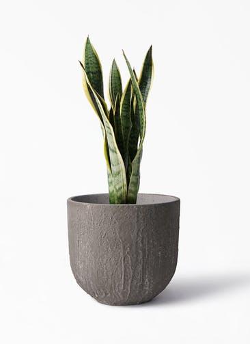観葉植物 サンスベリア 6号 トラノオ バル ユーポット アンティークセメント 付き