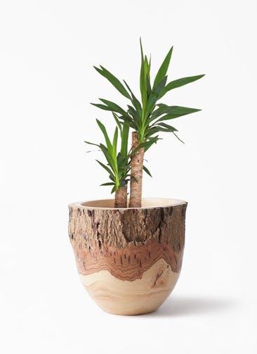 観葉植物 ユッカ 6号 ノーマル Mango Wood(マンゴーウッド) フラワーベース 付き