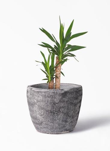 観葉植物 ユッカ 6号 ノーマル アビスソニア ミドル 灰 付き