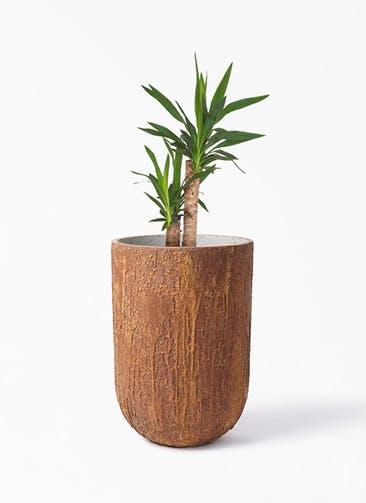 観葉植物 ユッカ 6号 ノーマル バル トール ラスティ  付き
