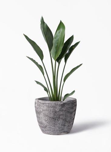 観葉植物 ストレリチア レギネ 6号 アビスソニア ミドル 灰 付き