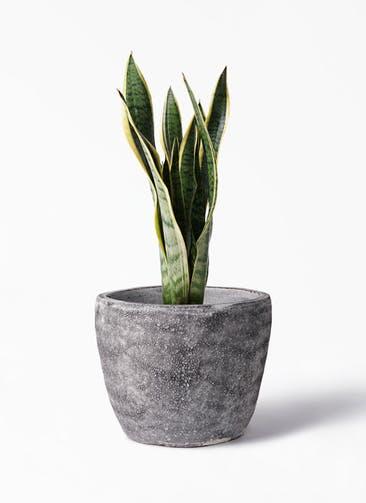 観葉植物 サンスベリア 6号 トラノオ アビスソニア ミドル 灰 付き