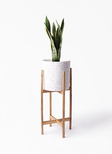 観葉植物 サンスベリア 6号 トラノオ ホルスト シリンダー スパークルホワイト ウッドポットスタンド 付き