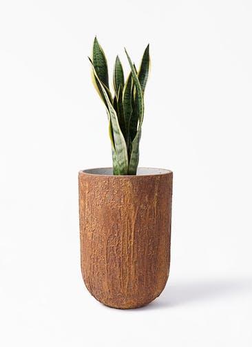 観葉植物 サンスベリア 6号 トラノオ バル トール ラスティ  付き