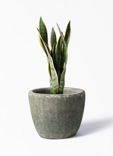 観葉植物 サンスベリア 6号 トラノオ アビスソニア ミドル 緑 付き