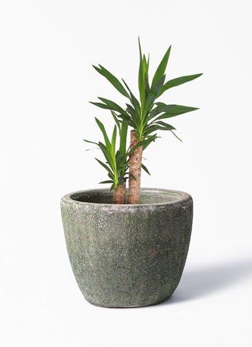 観葉植物 ユッカ 6号 ノーマル アビスソニア ミドル 緑 付き