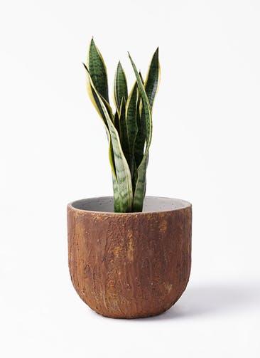 観葉植物 サンスベリア 6号 トラノオ バル ユーポット ラスティ  付き