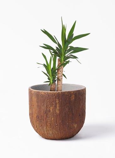 観葉植物 ユッカ 6号 ノーマル バル ユーポット ラスティ  付き