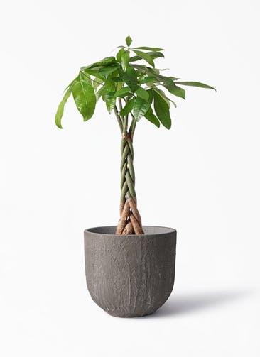観葉植物 パキラ 6号 ねじり バル ユーポット アンティークセメント 付き