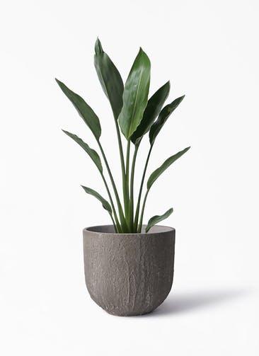 観葉植物 ストレリチア レギネ 6号 バル ユーポット アンティークセメント 付き