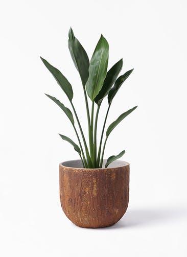 観葉植物 ストレリチア レギネ 6号 バル ユーポット ラスティ  付き