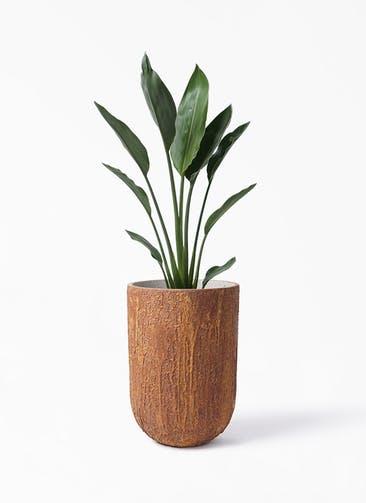 観葉植物 ストレリチア レギネ 6号 バル トール ラスティ  付き