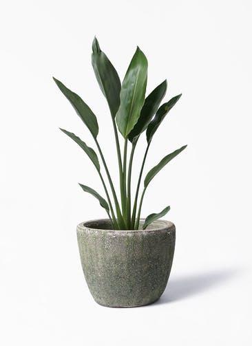 観葉植物 ストレリチア レギネ 6号 アビスソニア ミドル 緑 付き