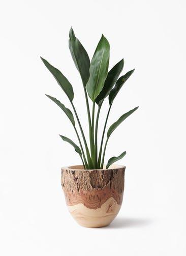 観葉植物 ストレリチア レギネ 6号 Mango Wood(マンゴーウッド) フラワーベース 付き