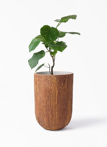 観葉植物 フィカス ウンベラータ 6号 ノーマル バル トール ラスティ  付き
