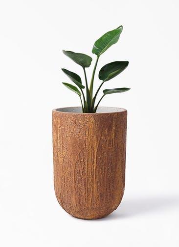 観葉植物 オーガスタ 6号 バル トール ラスティ  付き