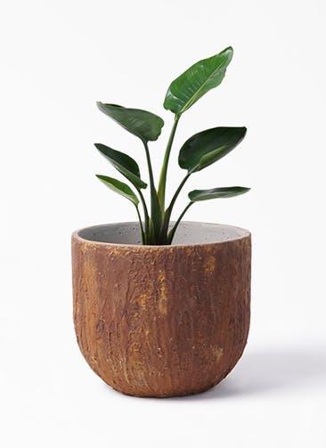 観葉植物 オーガスタ 6号 バル ユーポット ラスティ  付き