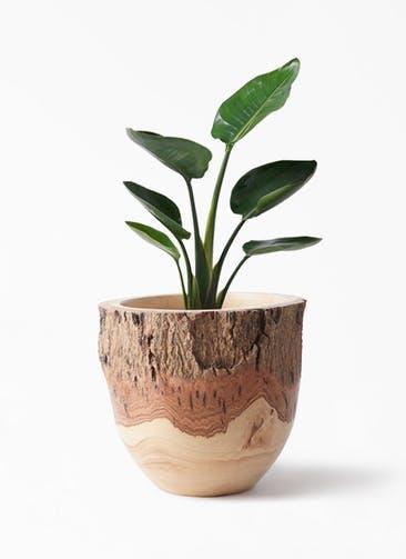 観葉植物 オーガスタ 6号 Mango Wood(マンゴーウッド) フラワーベース 付き