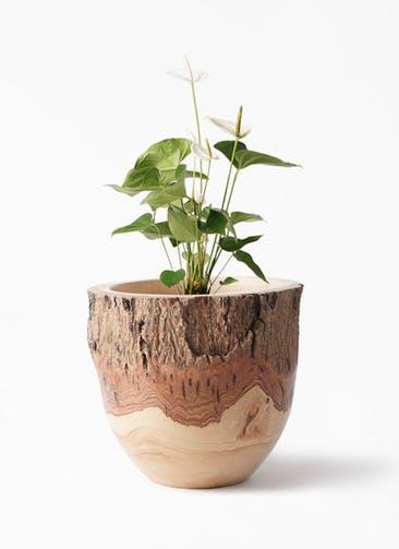 観葉植物 アンスリウム 6号 スミ Mango Wood(マンゴーウッド) フラワーベース 付き