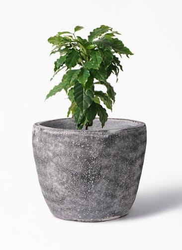 観葉植物 コーヒーの木 6号 アビスソニア ミドル 灰 付き
