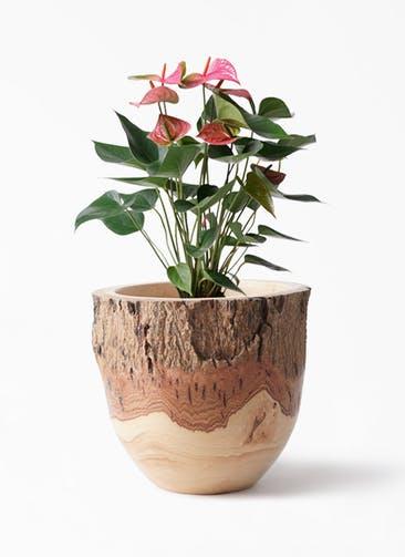 観葉植物 アンスリウム 6号 ピンクチャンピオン Mango Wood(マンゴーウッド) フラワーベース 付き