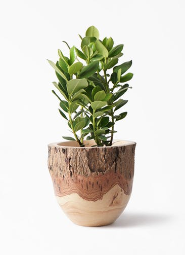 観葉植物 クルシア ロゼア プリンセス 6号 Mango Wood(マンゴーウッド) フラワーベース 付き
