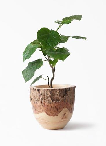 観葉植物 フィカス ウンベラータ 6号 ノーマル Mango Wood(マンゴーウッド) フラワーベース 付き