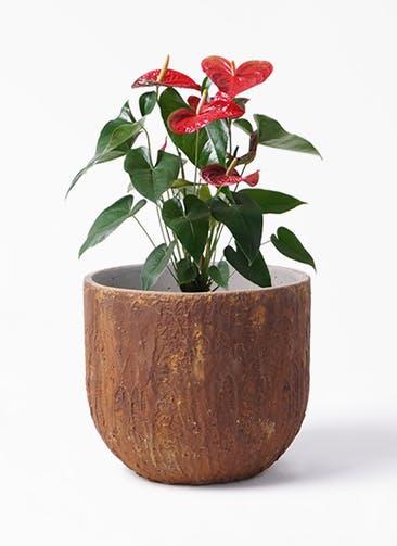 観葉植物 アンスリウム 6号 ダコタ バル ユーポット ラスティ  付き