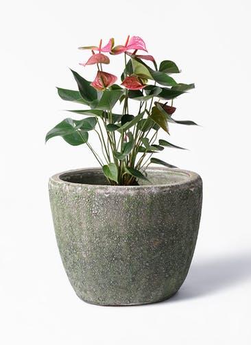 観葉植物 アンスリウム 6号 ピンクチャンピオン アビスソニア ミドル 緑 付き
