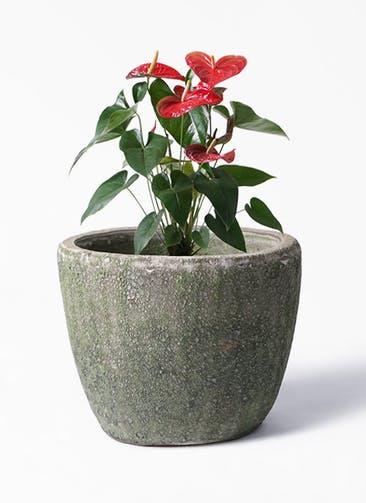 観葉植物 アンスリウム 6号 ダコタ アビスソニア ミドル 緑 付き