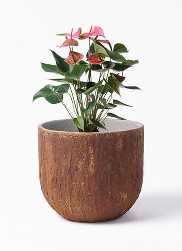 観葉植物 アンスリウム 6号 ピンクチャンピオン バル ユーポット ラスティ  付き