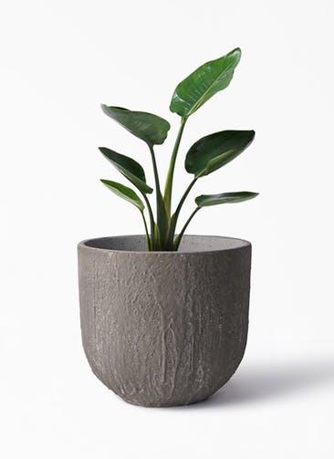 観葉植物 オーガスタ 6号 バル ユーポット アンティークセメント 付き