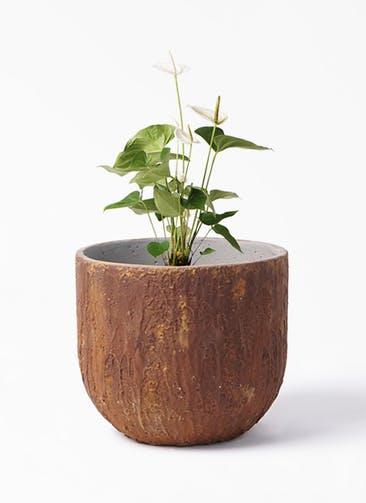 観葉植物 アンスリウム 6号 スミ バル ユーポット ラスティ  付き