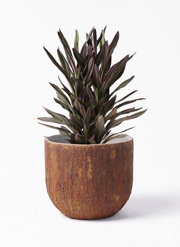 観葉植物 コルディリネ (コルジリネ) サンゴ 6号 バル ユーポット ラスティ  付き