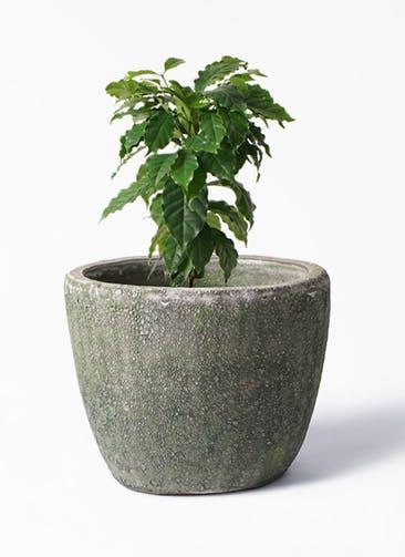 観葉植物 コーヒーの木 6号 アビスソニア ミドル 緑 付き
