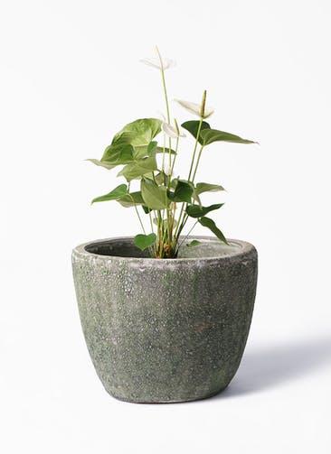 観葉植物 アンスリウム 6号 スミ アビスソニア ミドル 緑 付き