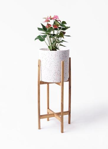 観葉植物 アンスリウム 6号 ピンクチャンピオン ホルスト シリンダー スパークルホワイト ウッドポットスタンド 付き