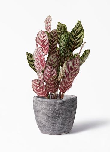 観葉植物 カラテア マコヤナ 6号 アビスソニア ミドル 灰 付き