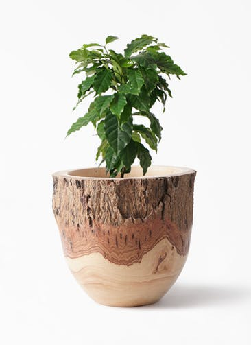 観葉植物 コーヒーの木 6号 Mango Wood(マンゴーウッド) フラワーベース 付き