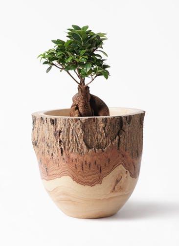 観葉植物 ガジュマル 6号 股仕立て Mango Wood(マンゴーウッド) フラワーベース 付き