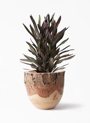 観葉植物 コルディリネ (コルジリネ) サンゴ 6号 Mango Wood(マンゴーウッド) フラワーベース 付き