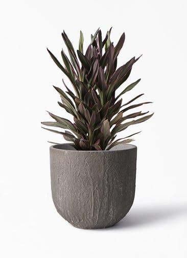 観葉植物 コルディリネ (コルジリネ) サンゴ 6号 バル ユーポット アンティークセメント 付き