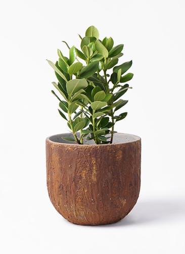 観葉植物 クルシア ロゼア プリンセス 6号 バル ユーポット ラスティ  付き