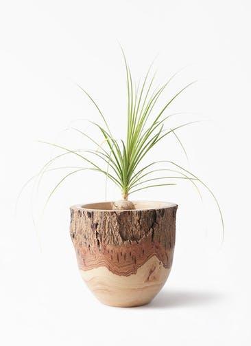 観葉植物 トックリラン 6号 Mango Wood(マンゴーウッド) フラワーベース 付き